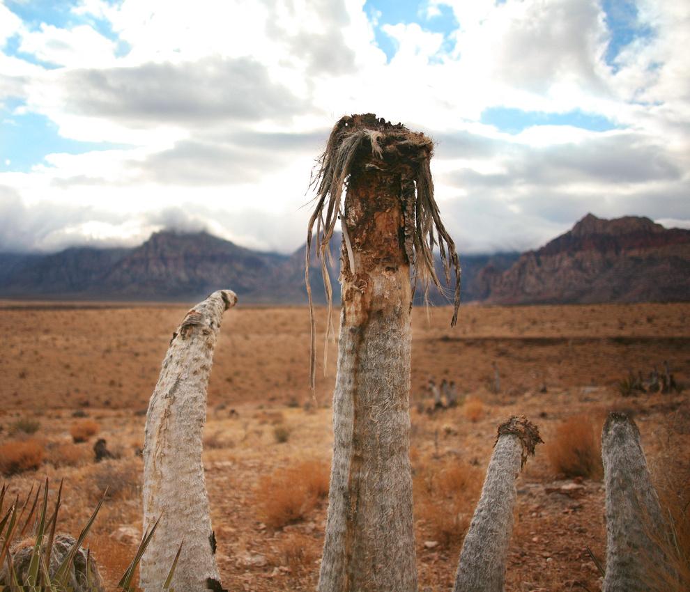 Mojave Desert Plant